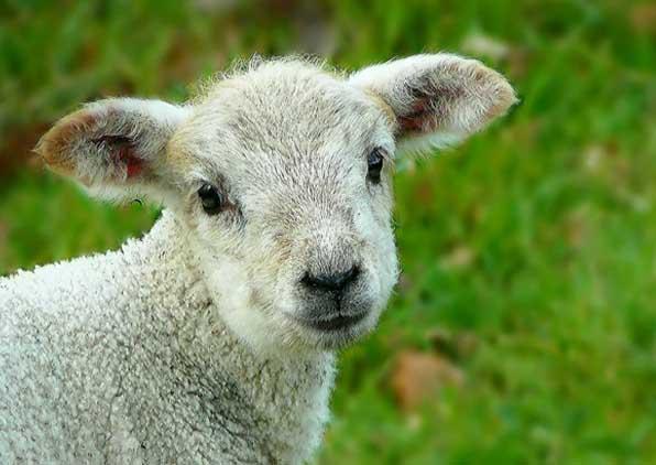 A bárány